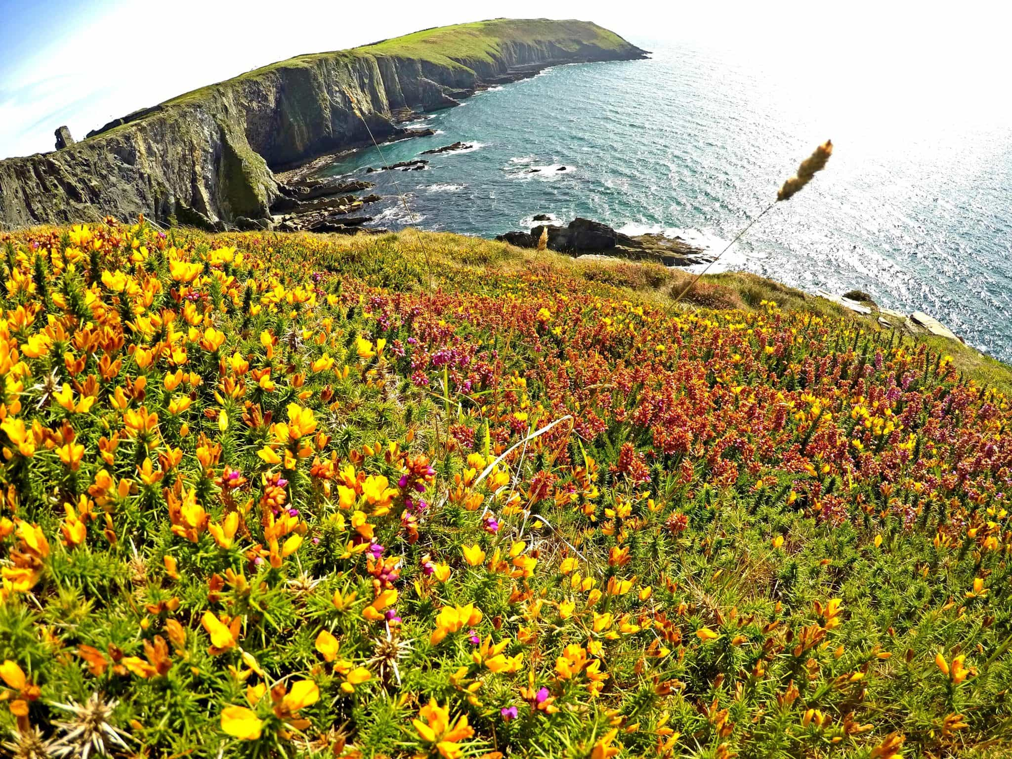Old Head Cliffs flowers